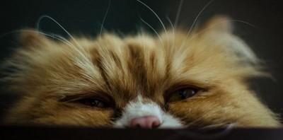 Калицивирус кошек