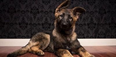 Парвовирусный энтерит щенков