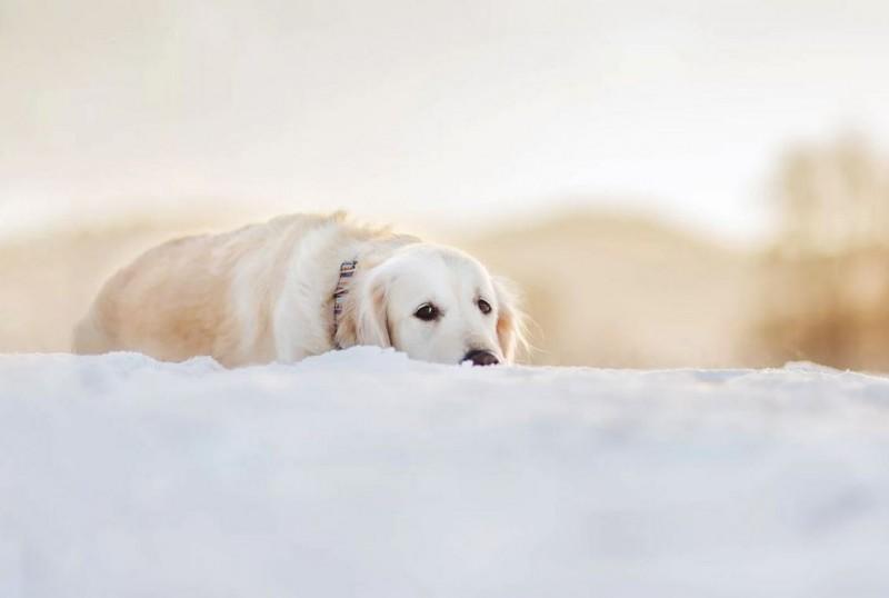 Дисплазия локтевого сустава собак