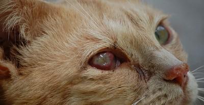 Ринотрахеит кошек: симптомы, лечение, фото, прививки