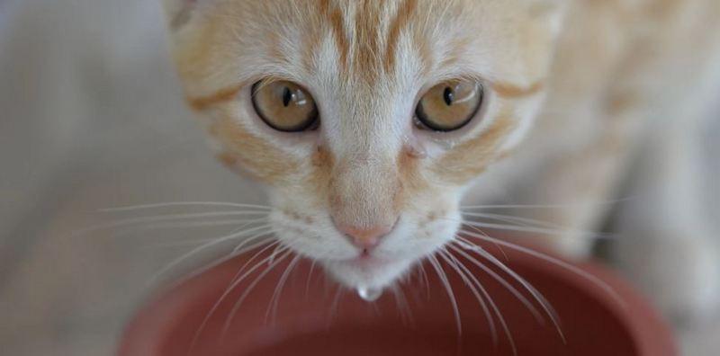 Почему кошка стала много пить воду