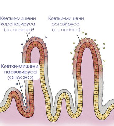 коронавируса у собак