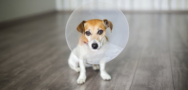 Медицинский конус собаке в Москве