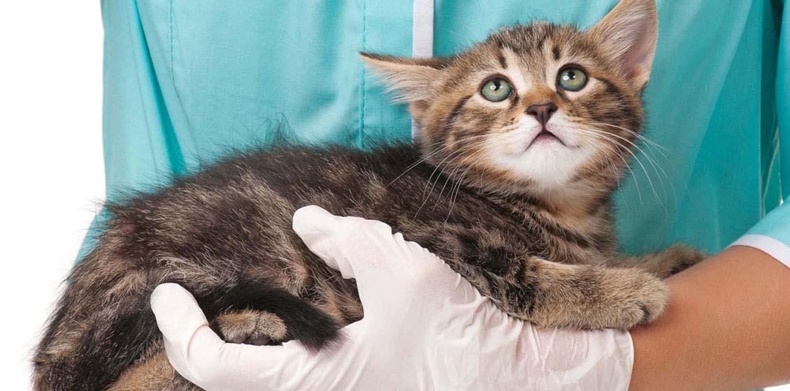 Первая и вторая прививки котятам: таблица