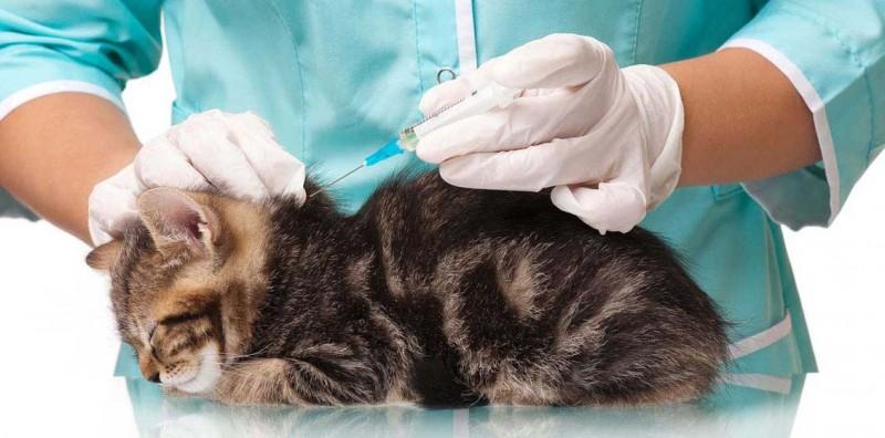 Схема прививок котятам до года