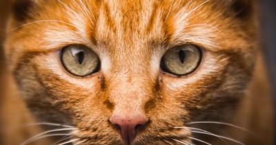 Хламидиоз кошек: симптомы, лечение, фото, прививки