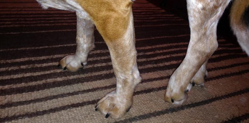 Причины хромоты у собак